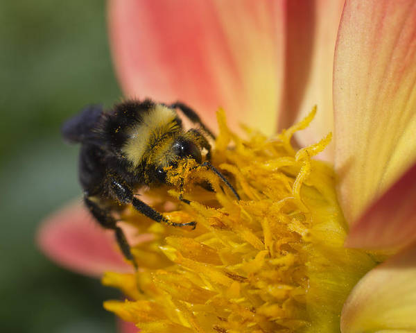 Pollination Poster featuring the photograph Bathing In Pollen by Priya Ghose