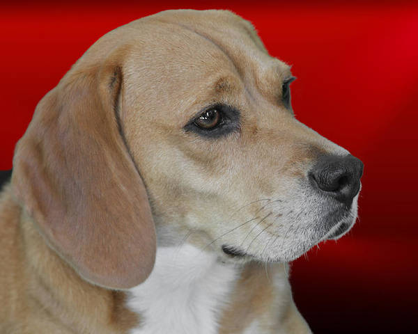 Beagles Poster featuring the photograph Beagle - A Hound's Hound by Christine Till