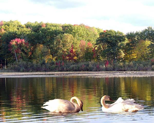Swan Poster featuring the photograph Beautiful Autumn Sunset by Amalia Jonas