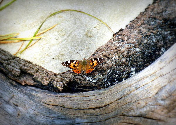 Butterfly Poster featuring the photograph Beauty On The Beach by Karen Wiles
