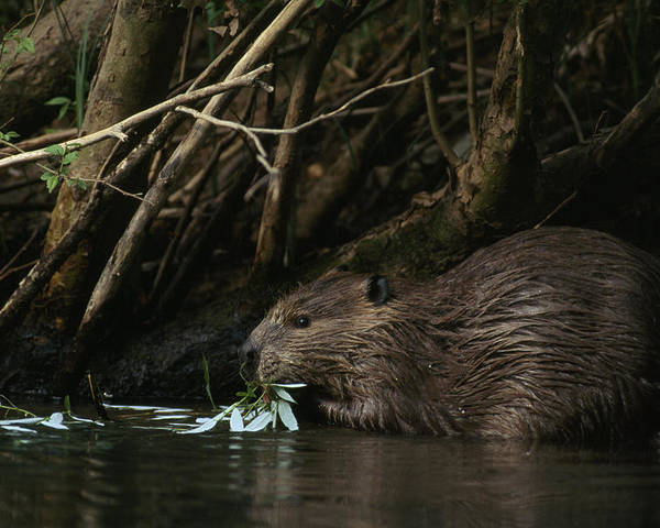 Animals Poster featuring the photograph Beaver Building A Dam, Ozark Mountains by Randy Olson
