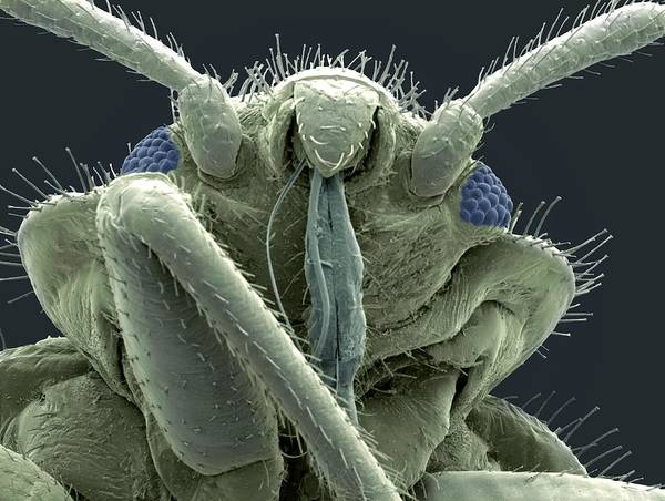 Bedbug Poster featuring the photograph Bedbug Head, Sem by Steve Gschmeissner