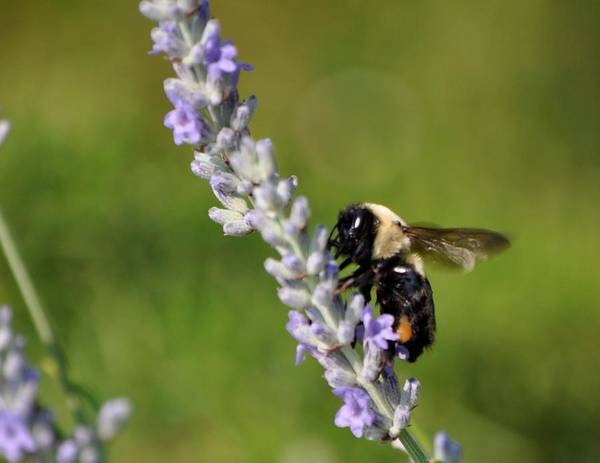 Bee Poster featuring the photograph Bee And Lavender by Terri Albertson