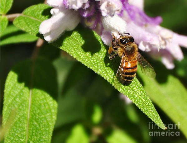 Photography Poster featuring the photograph Bee At Work by Kaye Menner