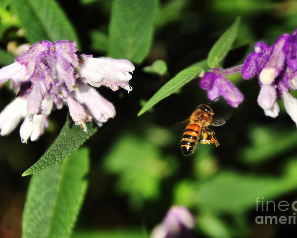Photography Poster featuring the photograph Bee In Flight by Kaye Menner