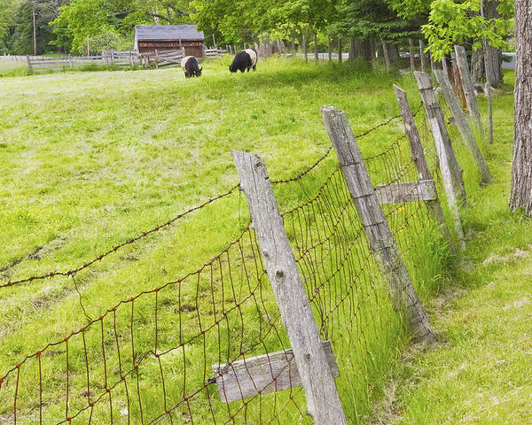 Cow Poster featuring the photograph Belted Galloway Cows Farm Rockport Maine by Keith Webber Jr