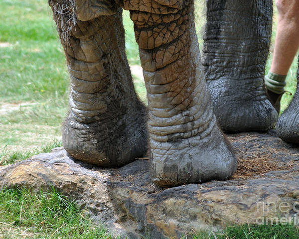 Elephant Poster featuring the photograph Best Foot Forward by Joanne Kocwin