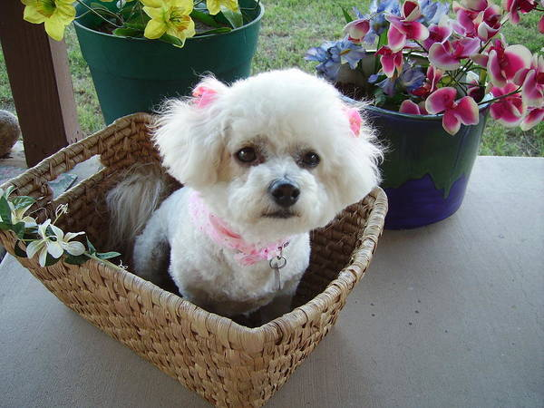 Bichon Frise Poster featuring the photograph Bichon In A Basket by Fran Loando
