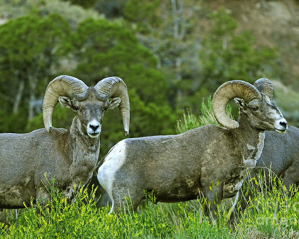 Wildlife Poster featuring the photograph Big Horn Sheep by Dennis Hammer