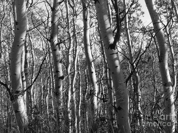 Birch Trees Poster featuring the photograph Birch by David Bearden