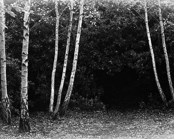 Nature Poster featuring the photograph Birches In Black And White by David Resnikoff