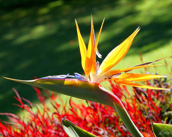 Flower Poster featuring the photograph Bird Of Paradise by Diana Haronis