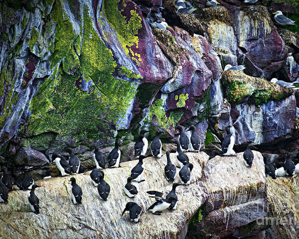 Cape Poster featuring the photograph Birds At Cape St. Mary's Bird Sanctuary In Newfoundland by Elena Elisseeva