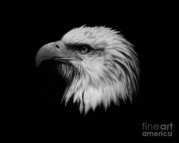 Black And White Poster featuring the photograph Black And White Eagle by Steve McKinzie