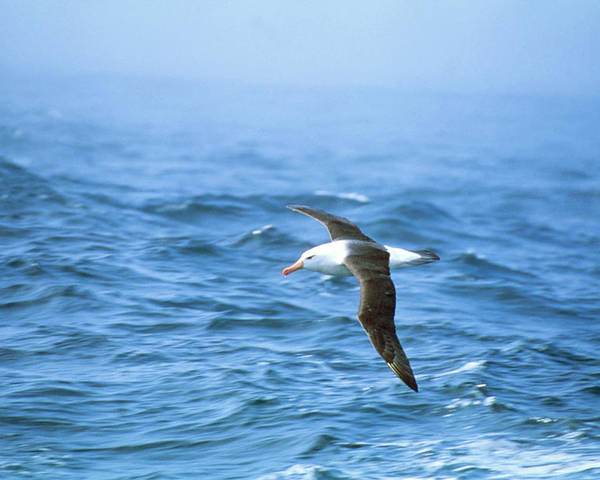 Albatross Poster featuring the photograph Black-browed Albatross by Peter Scoones