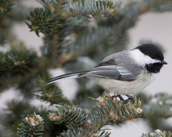 Day Poster featuring the photograph Black-capped Chickadee, Poecile by John Cancalosi