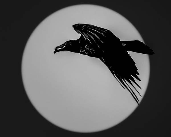 4179 Poster featuring the photograph Black Crow by Marx Broszio