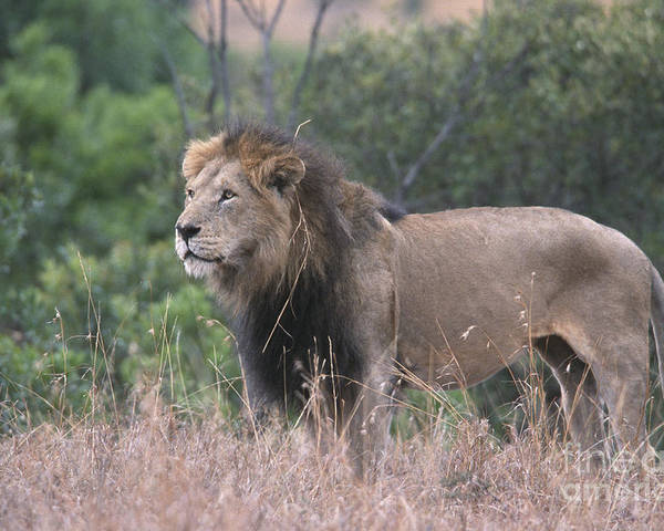 Lion Poster featuring the photograph Black Maned Lion by Sandra Bronstein