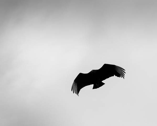 0364 Poster featuring the photograph Black Vulture by Marx Broszio