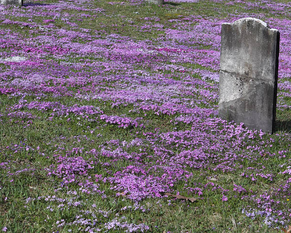 Tombstone Poster featuring the photograph Blank Colonial Tombstone Amidst Graveyard Phlox by John Stephens