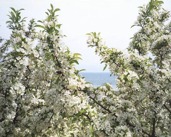 Tree Poster featuring the photograph Blooming Tree by Annella Grayce