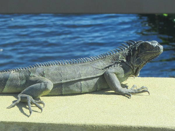 Iguana Poster featuring the photograph Blue Blue by Vijay Sharon Govender