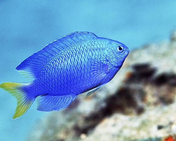 Pomacentrus Pavo Poster featuring the photograph Blue Damselfish by Georgette Douwma