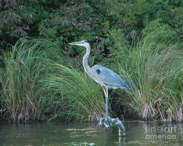 Blue Heron Poster featuring the photograph Blue Heron by Grace Grogan