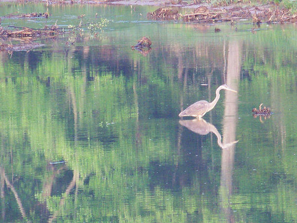 Reflections Poster featuring the photograph Blue Heron6 by Martha Abell