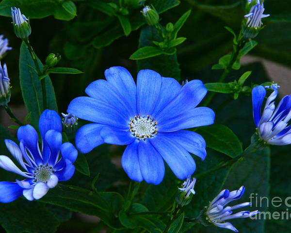 Cornflower Blue Cineraria Poster featuring the photograph Blue Magic by Byron Varvarigos