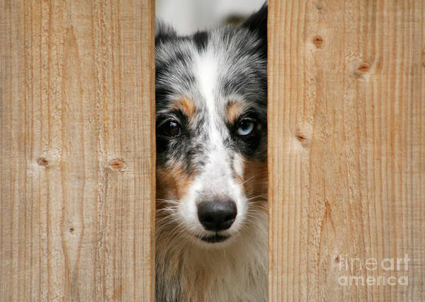 Dog Poster featuring the photograph Blue Merle Sheltie by Kati Molin