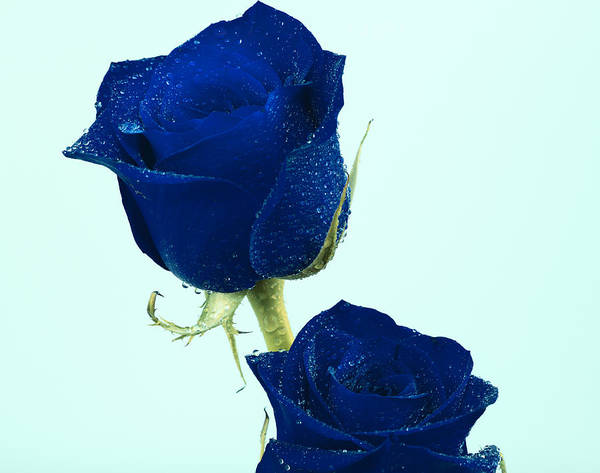 Blue Roses Poster featuring the photograph Blue Roses by Gord Patterson