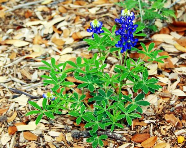 Wildflowers Poster featuring the photograph Bluebonnet by Monica Wheelus