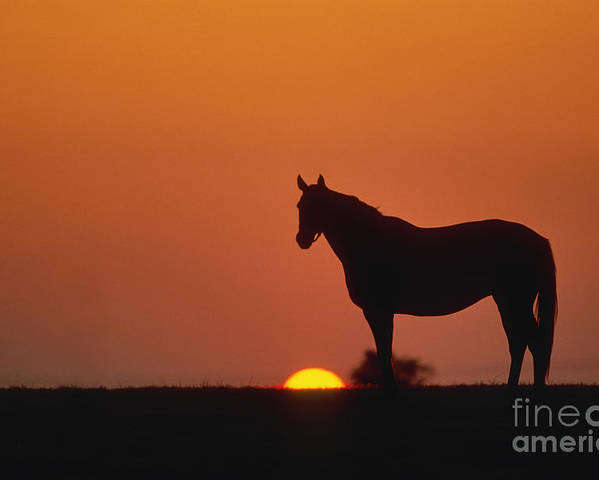 Thoroughbred Poster featuring the photograph Bluegrass Sunset - Fs000285 by Daniel Dempster