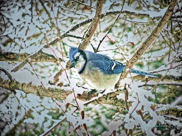 Bluejay Poster featuring the digital art Bluejay In Birches by John Selmer Sr