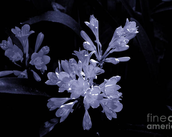 Flowers South Africa Poster featuring the photograph Bluish Gleaming Radiant by Rick Bragan