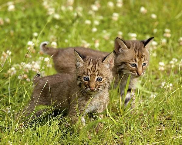 Outdoors Poster featuring the photograph Bobcat Kittens by John Pitcher