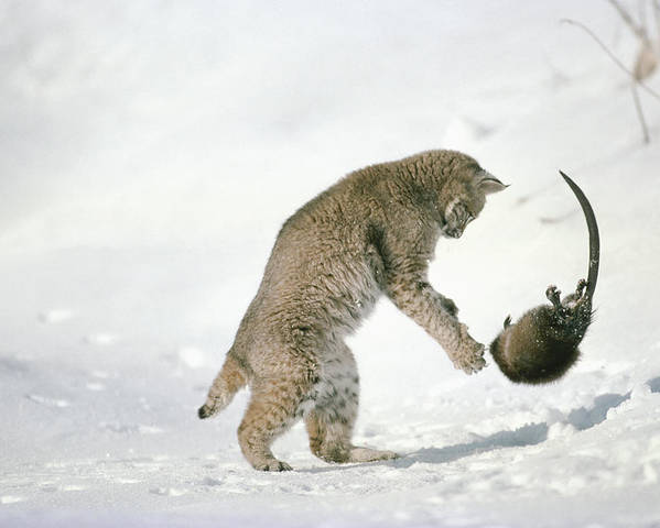 Mp Poster featuring the photograph Bobcat Lynx Rufus Hunting Muskrat by Michael Quinton