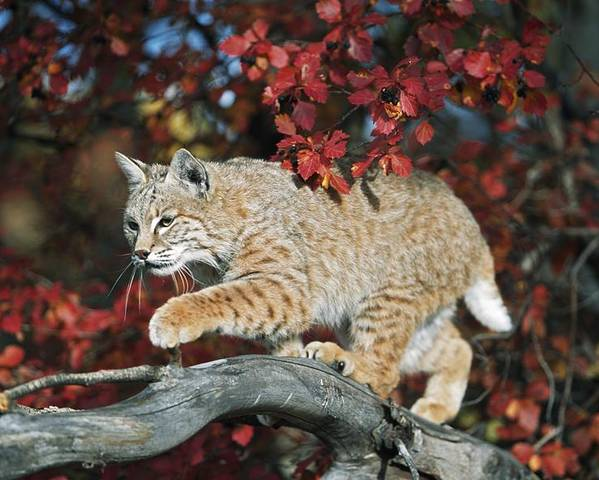 Autumn Poster featuring the photograph Bobcat Walks On Branch Through Hawthorn by David Ponton