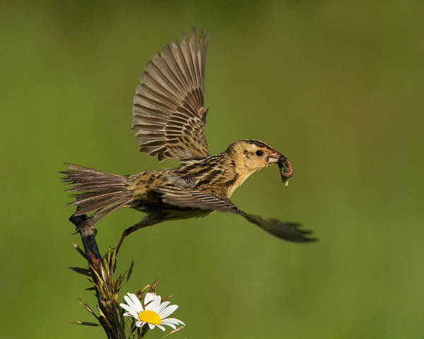 Babies Poster featuring the photograph Bobolink by Mircea Costina Photography