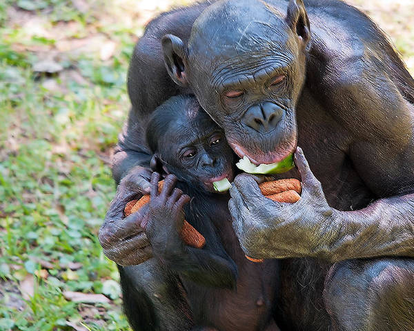 Wildlife Poster featuring the photograph Bonobo 3 by Kenneth Albin
