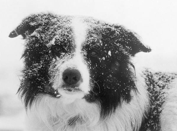 Border Collie Dog Poster featuring the photograph Border Collie by Carole Martinez