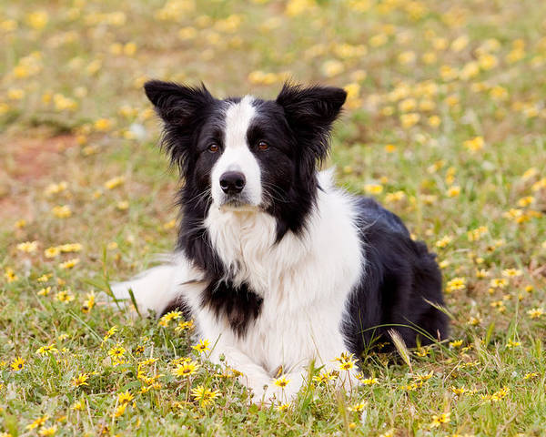 Border Collie Poster featuring the photograph Border Collie In Field Of Yellow Flowers by Michelle Wrighton