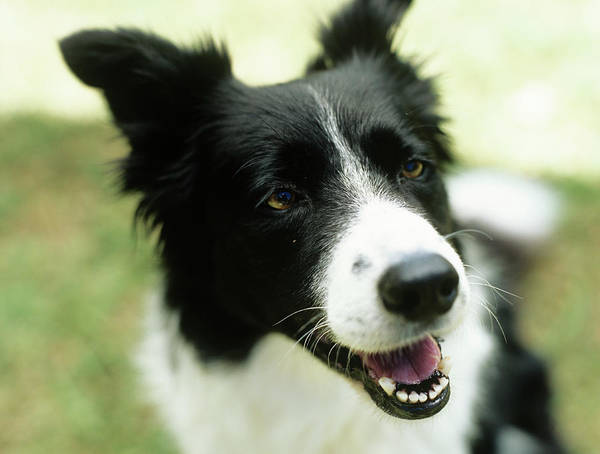 Horizontal Poster featuring the photograph Border Collie Sitting On Grass,close-up by Stockbyte