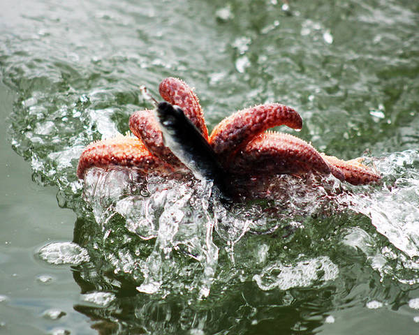 Starfish Poster featuring the photograph Bottom Catch by Cait Lewis