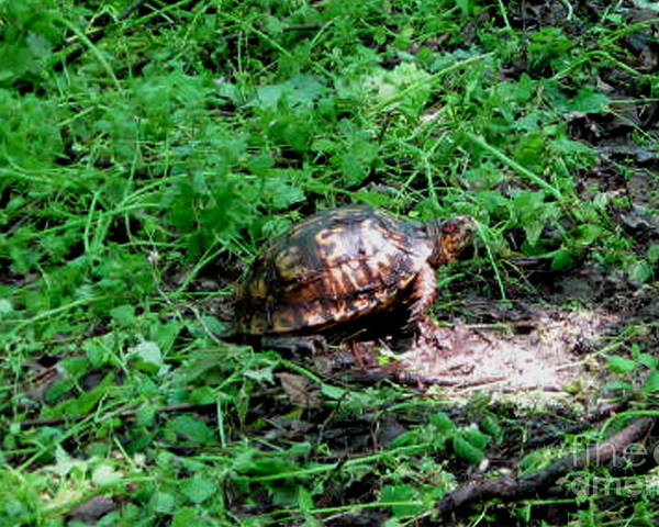Turtle Poster featuring the photograph Box Turtle by The Kepharts