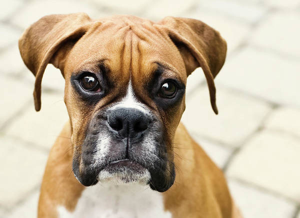 Horizontal Poster featuring the photograph Boxer Puppy by Jody Trappe Photography