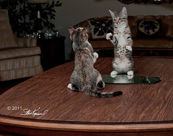 Cat Poster featuring the photograph Boxing Match by Steve Knievel