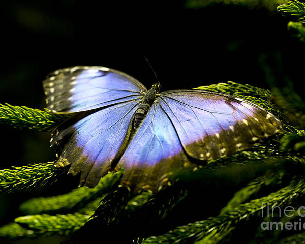 Butterfly Poster featuring the photograph Bright Blue by Leslie Leda