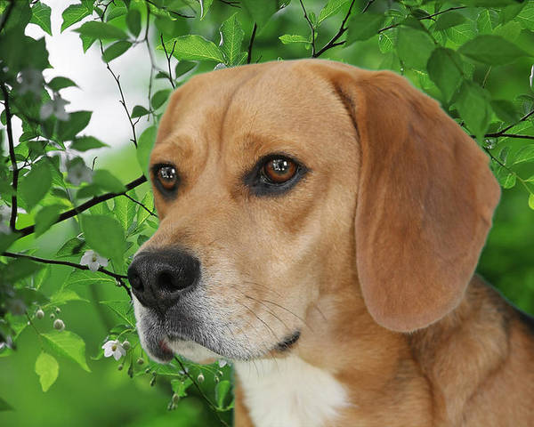 Beagles Poster featuring the photograph British Beauty by Christine Till
